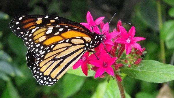 Butterfly, Insect, Babočkovití