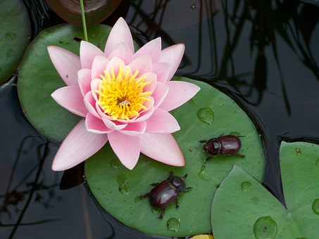 Water Lily, Beetle, Nature