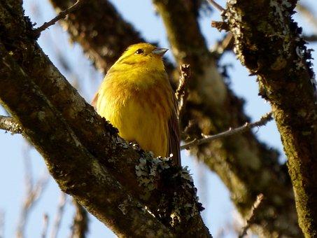 Yellowhammer, Birds, Yellow Bird, Tree, Branch
