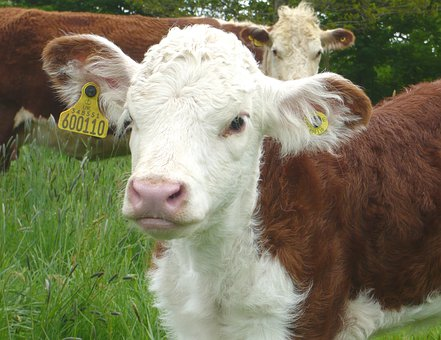 Calf, Cow, Nature, Beef, Pasture, Cows, Cattle, Cute