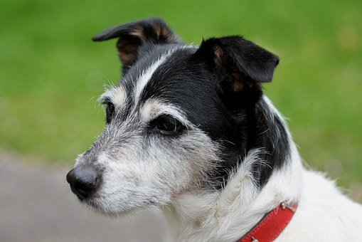 Dog, Jack Russell, Close, Black And White