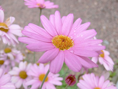Daisy, Flower, Pink, Floral, Plants, Natural, Blossom