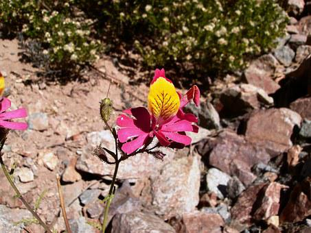 Flower, Tiger, Flora Of Mountain