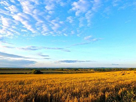Field, Wheat, Summer, Corn, Harvest, Sunny, Golden