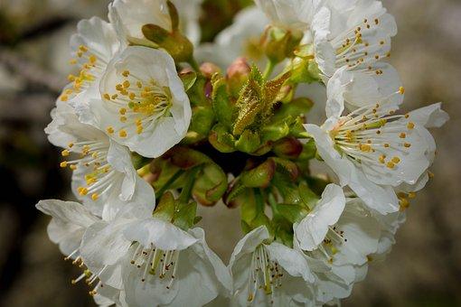 Flowers, Cherry, Nature, Spring, Cherry Blossom, Plants