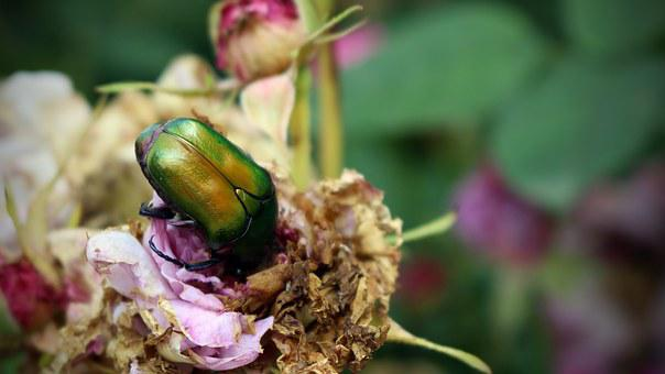 Beetle, Citonia, Cetona, Insects, Garden, Rose, Nature