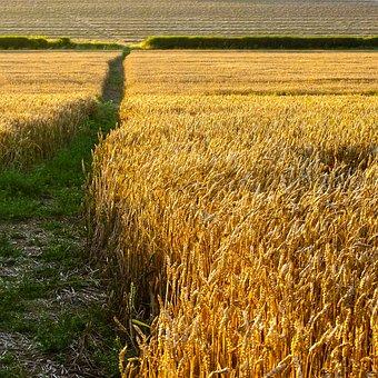 Summer, Field, Wheat, Corn, Harvest, Sunny, Golden