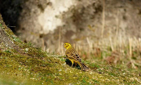 Yellowhammer, Bird, Yellow Bird, Garden