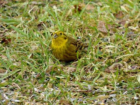 Bird, Birds, Yellowhammer, Yellow, Garden, Nature