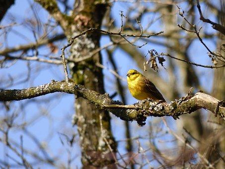 Yellowhammer, Bird, Branch, Nature
