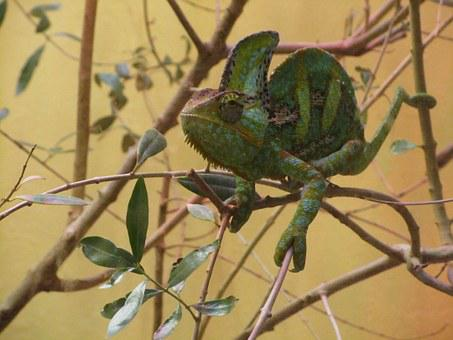 Chameleon, Lizard, Branches, Animal, Green, Brown