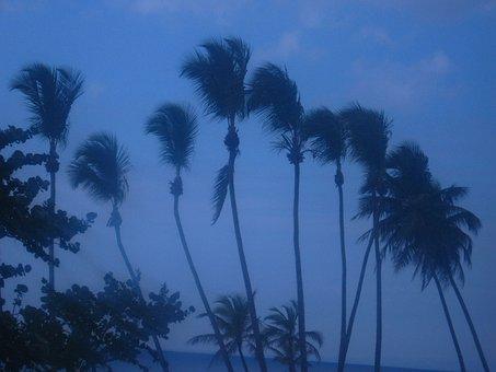 Palm, Trees, Swaying, Wind, Coconut