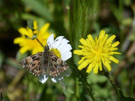 Carcharodus Alceae, Butterfly, Daisy, Dandelion