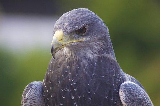 Eagle, Bird, Head, Beak, Falcon, Feather, Wildlife