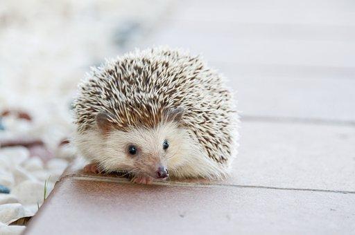 Hedgehog, Animal, Baby, Cute, Small, Pet