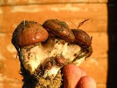 Mushrooms, Honey, Forest, Macro, Brown