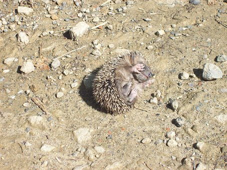 Tiny, Prickly, Baby, Hedgehog