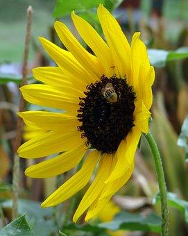 Sunflower, Ornamental, Bee, Macro, Close-up, Flower
