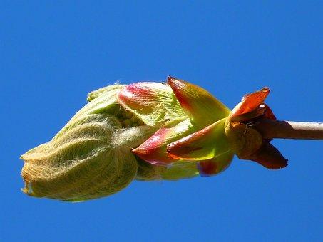 Bud, Chestnut, Chestnut Bud, Tree, Fresh Green, Plant