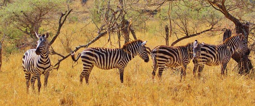 Zebra, Animal, Mammal, Zebras, Africa, Safari