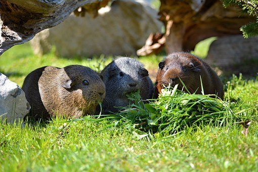 Guinea Pig, Smooth Hair, Agouti, Wild Life, Grass