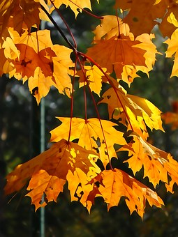 Foliage, Autumn, Yellow Leaves, Autumn Gold, Collapse