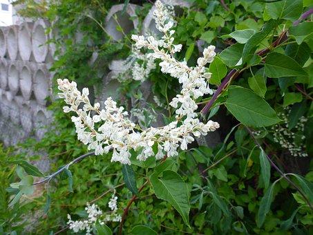 Honeysuckle, Blossom, Bloom, White, Periwinkle, Plant