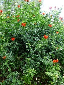Cape Honeysuckle, Bush, Blossom, Bloom, Red