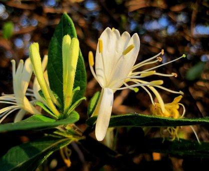Flower, Bloom, Honeysuckle, Dainty, Delicate, Yellow