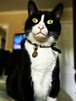 Cat, Domestic, Black, Friendly, Eyes, Funny, Cute, Pet