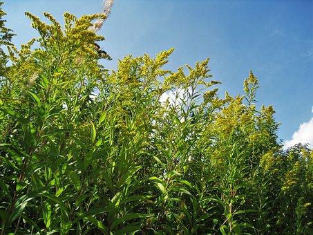 Goldenrod, Bees, Solidago, Gold Rhombus, Genus