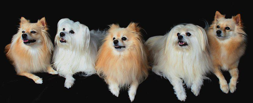 Dogs, Pomeranian, Maltese, Lined Up, Attention, Good
