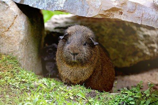 Guinea Pig, Smooth Hair, Wild, Life, Gray Agouti
