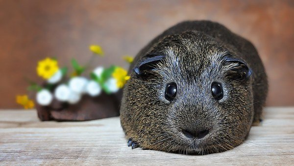 Caricature, Guinea Pig, Smooth Hair, Gray Agouti