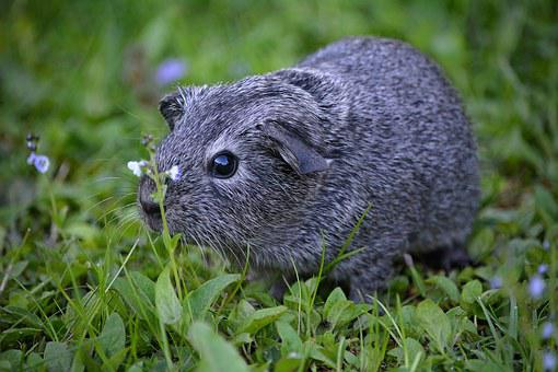Guinea Pig, Smooth Hair, Young Animal, Small, Sweet