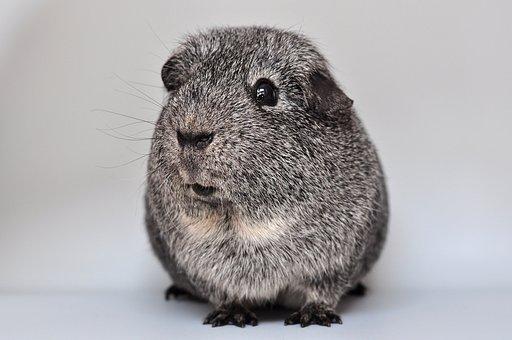 Guinea Pig, Smooth Hair, Agouti, Silver