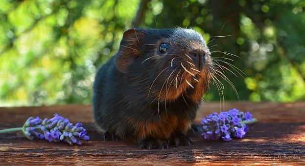 Guinea Pig, Baby Guinea Pigs, Smooth Hair, Young Animal