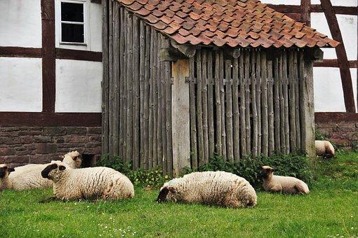Sheep, Sheep Barn, Farm, Timbered Barn, Lunch Break