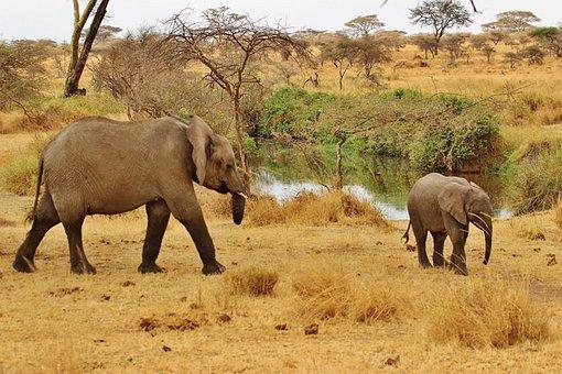 Safari, Elephant, Tanzania, Serengeti, Wildlife, Nature