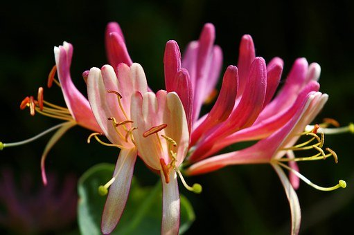 Honeysuckle, Creeper, Plant, Climber, Nature, Entwine
