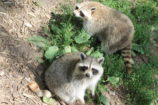 Raccoon, Mammal, Animal, Cute, Intelligent, Curious