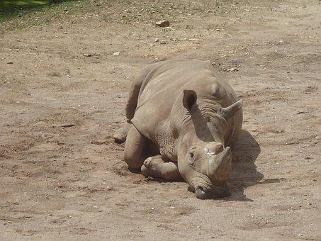 Rhino, Zoo, Rhinoceros, Wildlife Photography