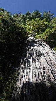 Redwood, California, Sequoia Trees