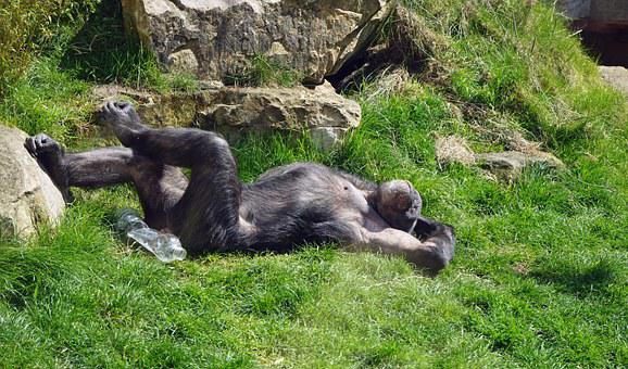 Chimpanzee, Monkey, Ape, Zoo, Tired, Relax, Chill Out