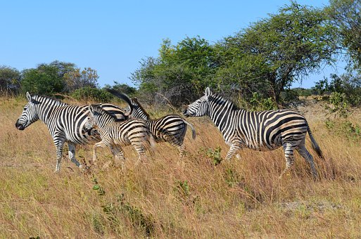 Zebra, Zebras, Wild, Wild Life, Animals, Zimbabwe