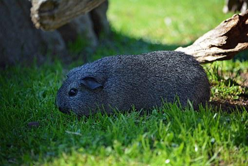 Guinea Pig, Young Animal, Smooth Hair