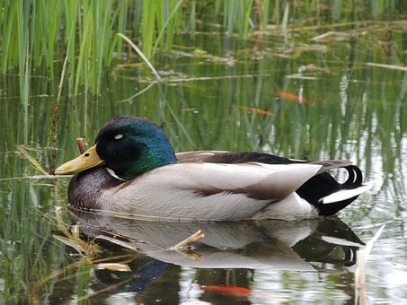 Drake, Duck, Sleep, Lake, Pond, Fish, Rest, Water, Bird