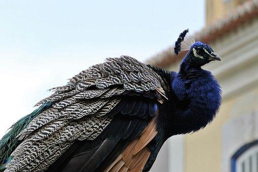 Peacock, Lisbon, Castle, Animal Life, Nature