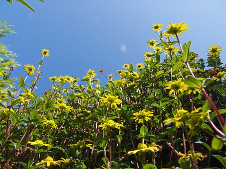 Flowers, Yellow, Hussar Buttons, Sky, Nature