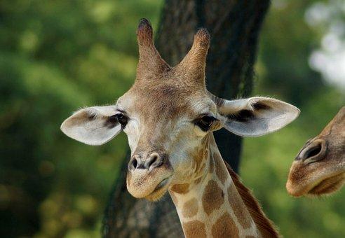 Giraffe, Young Animal, Close Up, Head, Animal